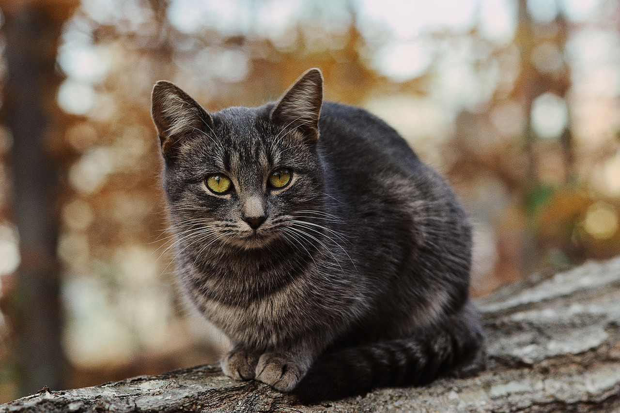 Dark Gray Cat With Amber Eyes
